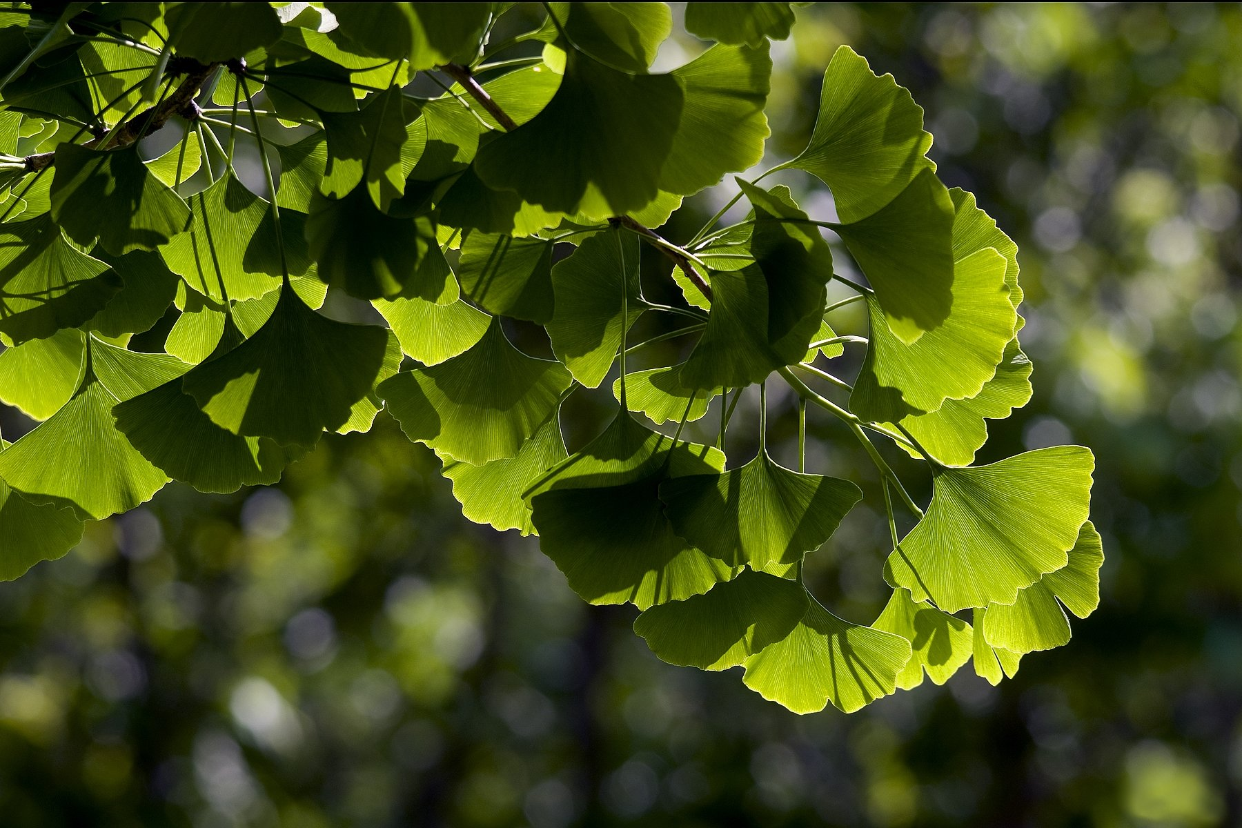 ginkgo-biloba-maidenhair-tree