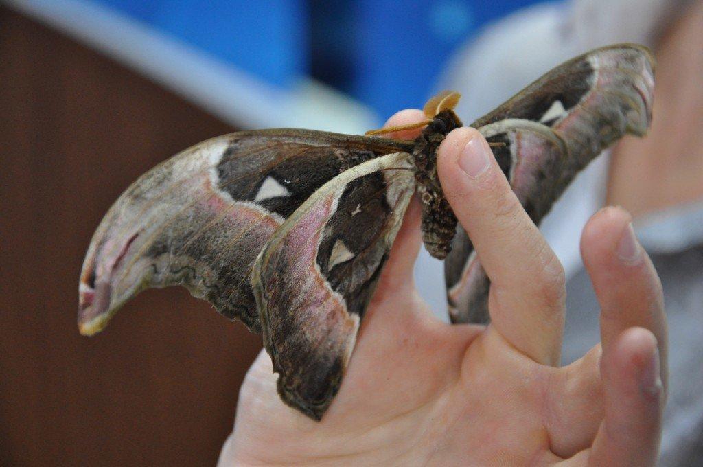 бабочка гигант