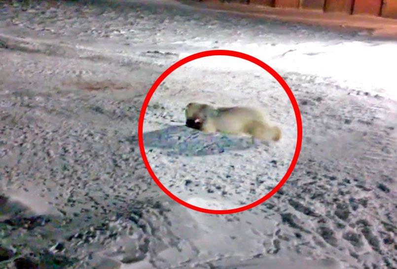 новости про белого медведя сегодня видео