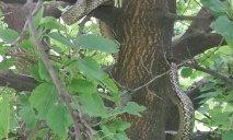 На дереве в Нагорном районе жители обнаружили огромную змею