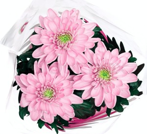 3621935-bouquet-of-pink-chrysanthemums-on-white-background