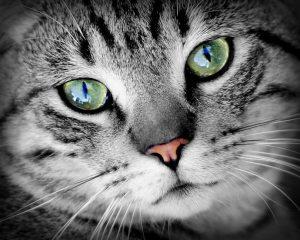 cat-animal-animal-portrait-pet-large
