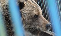 Медведица Ляля из Днепровского зоопарка обживается на новом месте (ВИДЕО)