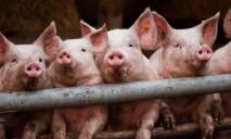 В Днепропетровской области зафиксирована африканская чума у свиней