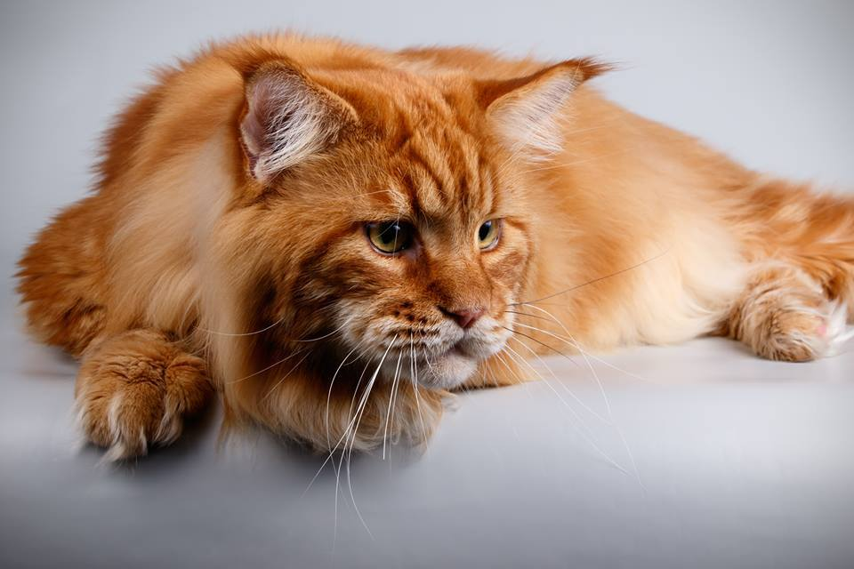 Знакомьтесь, Кекс: кот-гигант изДнепра попал вкнигу Рекордов Украины
