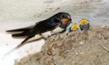 В Днепре заживо похоронили тысячу птенцов ласточек