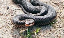 Нашествие змей в области: жертвами становятся животные