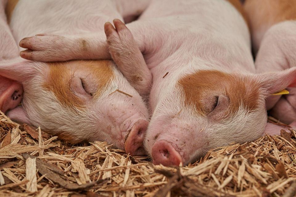 «Украина останется без свинины»: зафиксирована вспышка африканской чумы. Новости Днепра