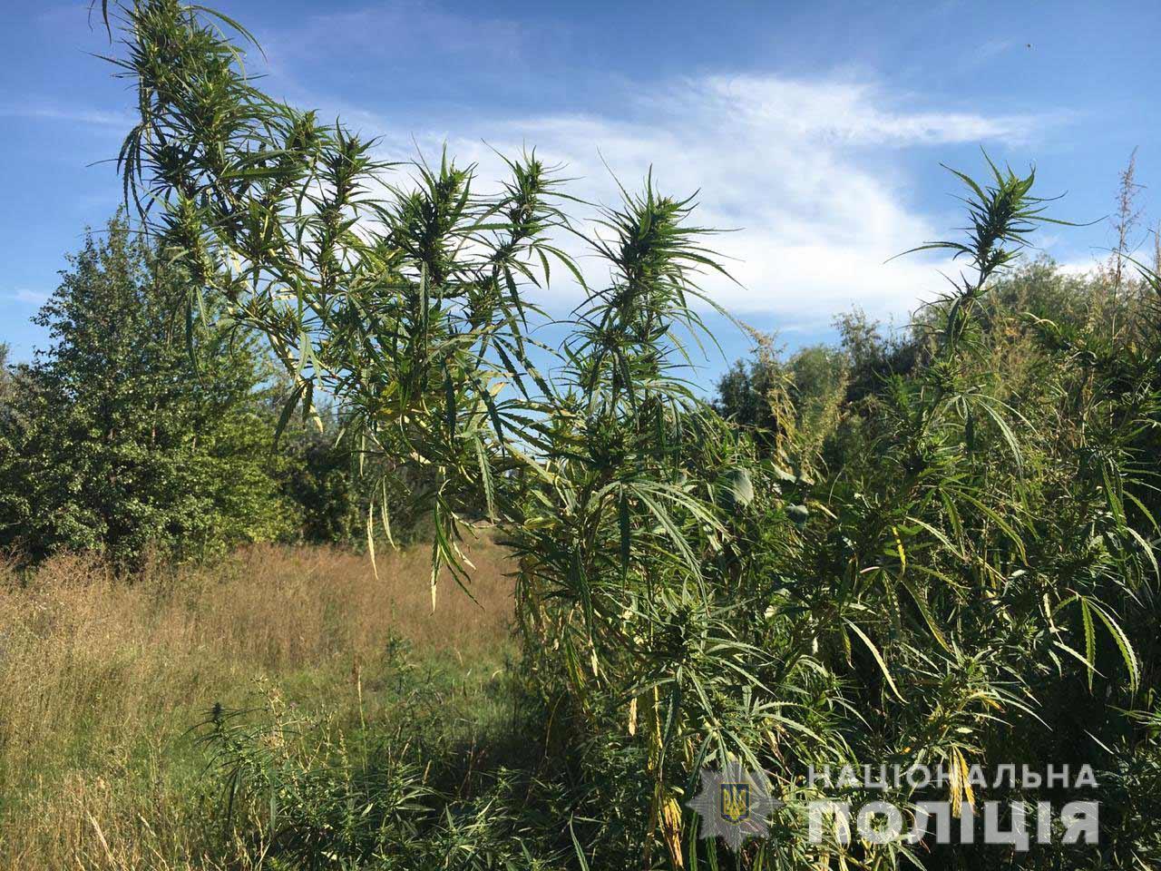 «Море конопли»: в области обнаружили плантацию наркотических растений. Новости Днепра