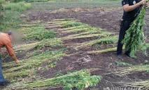 Супружеская пара выращивала коноплю у себя на огороде