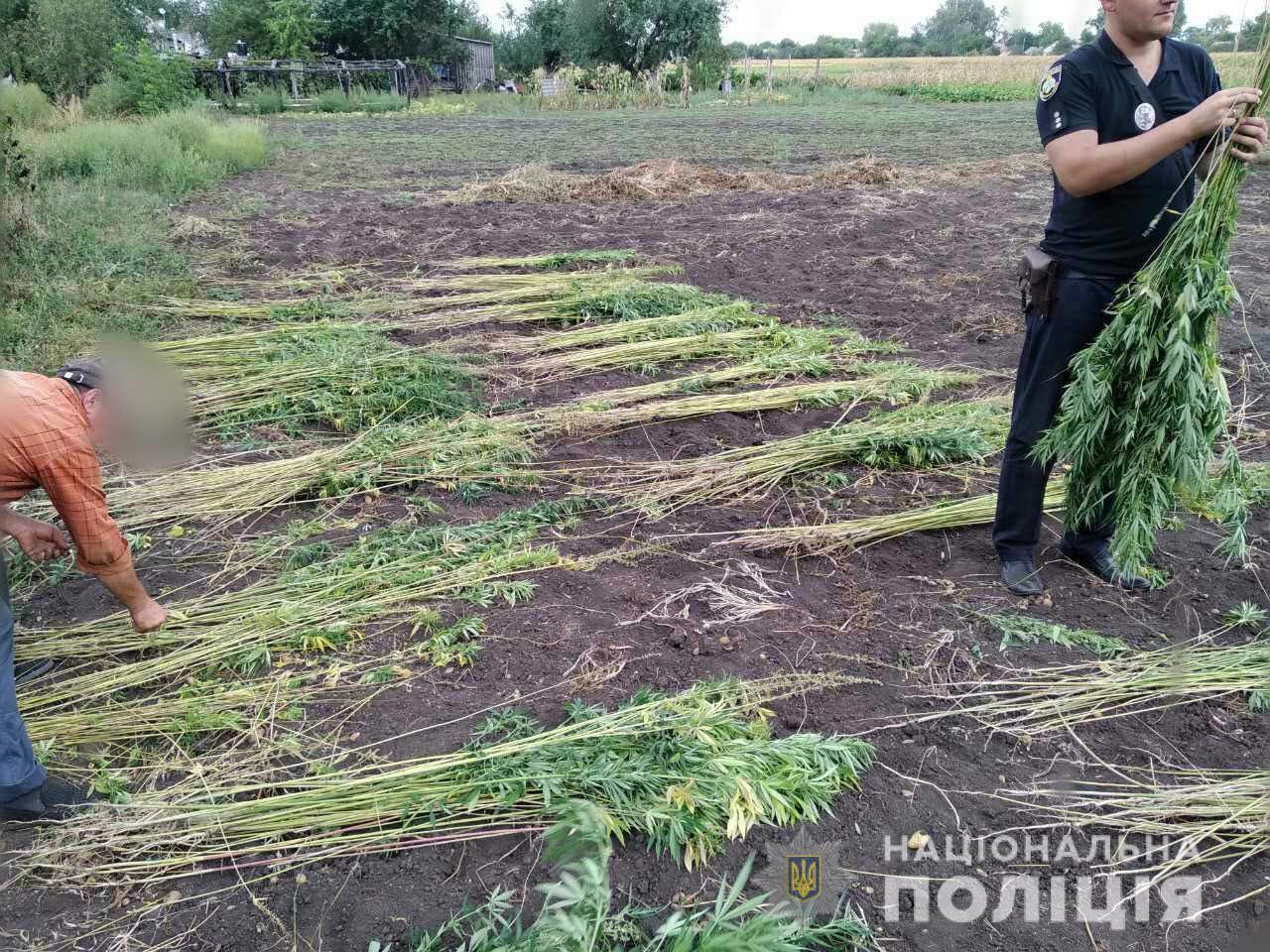 Супружеская пара выращивала коноплю у себя на огороде. Новости Днепра