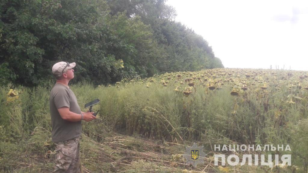 Думали, что не найдут: на поле подсолнухов выращивали коноплю. Новости Днепра