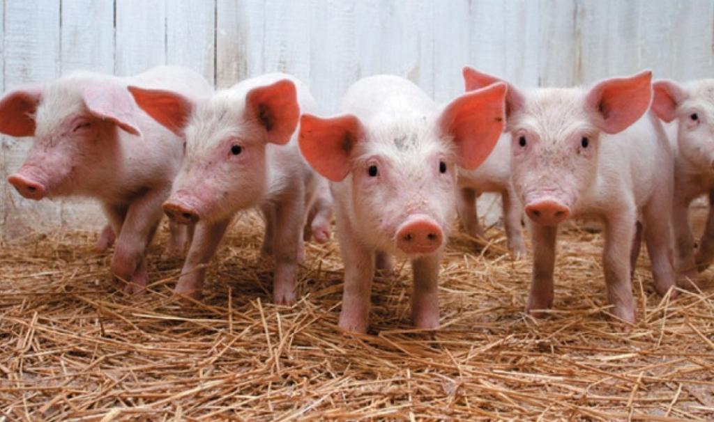 Уже 4 года украинцы едят свинину, зараженную чумой. Новости Украины