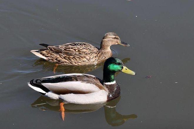 «Воняет не только тиной и отходами»: в Днепре в куче мусора плавают мертвые утки. Новости Днепра