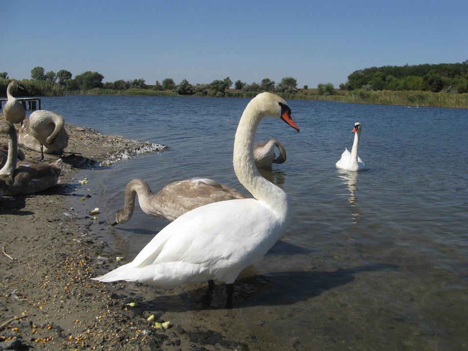 «Лебединое озеро» под Днепром: на пруду появилась стая благородных птиц. Новости Днепра