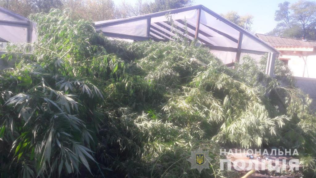 Марихуаны на миллион: полицейские выявили крупную плантацию растений в частном секторе. Новости Днепра
