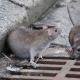 «Это уже их город»: жители утверждают, что крысы захватили Днепр