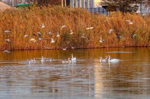 Новости Днепра про Днепряне умилились семьей прекрасных лебедей