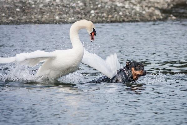 Лебедь чуть не утопил пса на водоеме. Новости мира