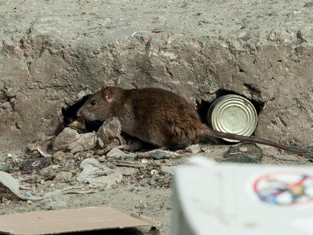 Свалка в центре Днепра привела к настоящему нашествию крыс. Новости Днепра