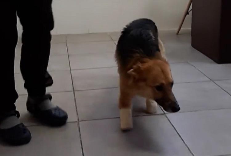 Пес Сильвер, которому отрубили 4 лапы, начал ходить. Новости Днепра