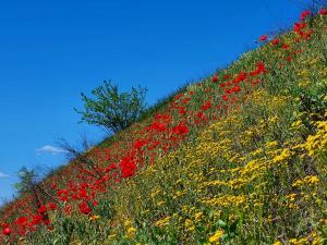 Местные жители запечатлели цветущее поле маков. Новости Днепра
