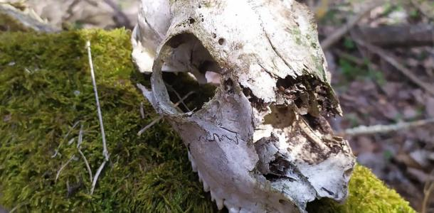 В Шульговском лесу на Днепропетровщине нашли странный череп
