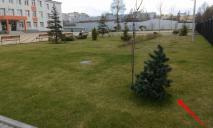 Среди елок на территории зеленой зоны школы № 7 есть искусственные