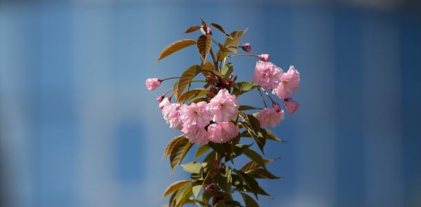 Самая красивая фотозона Днепра раскинула розовые цветы: как выглядит аллея сакур возле монумента Славы