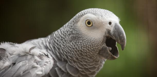500 долларов за пернатого: в Новомосковске потеряли попугая