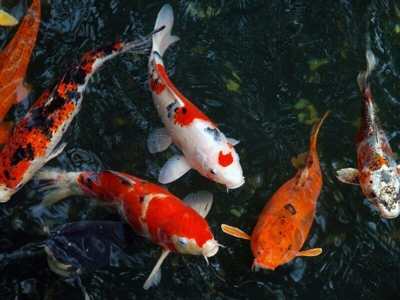 Новости Днепра про Как в японском саду: в яхт-клубе на Победе появились экзотические рыбки (ВИДЕО)