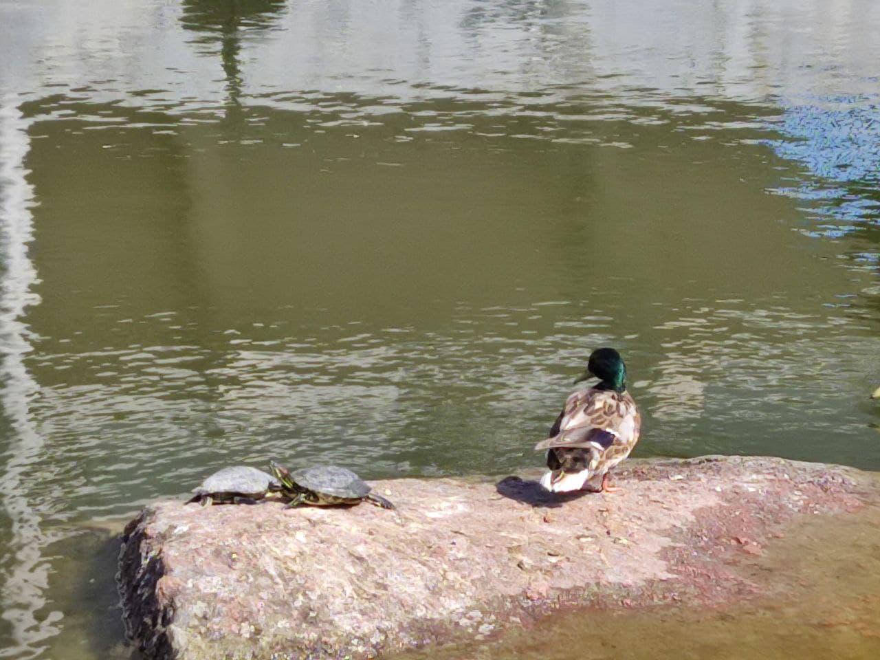 Новости Днепра про Привет с берегов Миссисипи: в парке Глобы заметили экзотических черепах