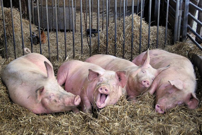 Новости Днепра про Аммонийный азот и нитраты: в Любимовке свиноферма устроила свалку навоза