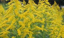 Цветение амброзии: как уберечь себя от аллергии