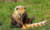 Поиздевались в контактном зоопарке: в Днепре спасают носуху с гепатитом