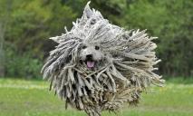 Смесь терьера и бульдога: как выглядит щенок за 159 тысяч гривен на продажу в Днепре (ФОТО)