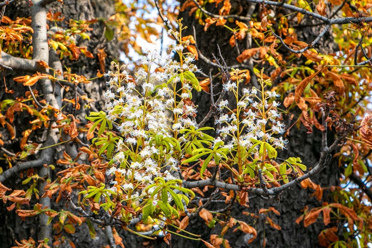 Новости Днепра про В Днепре зацвели каштаны осенью: возможные причины аномалии