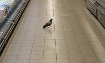Пернатый покупатель: в АТБ в Днепре по торговым залам гуляет голубь