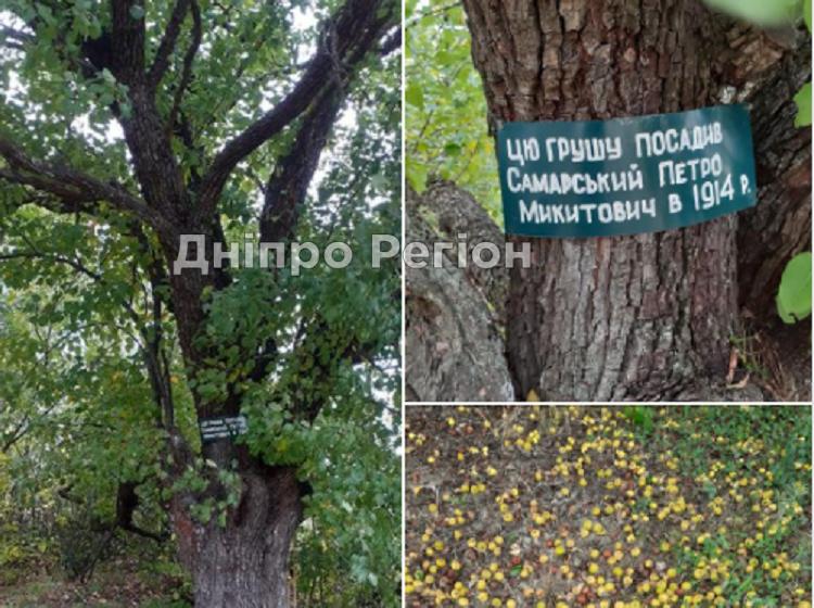 Новости Днепра про Груша - гордость семьи: на Днепропетровщине растет 107-летнее дерево