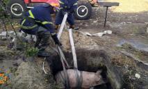 Спасали всем селом: на Днепропетровщине доставали поросёнка из ловушки